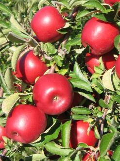 RubyFrost apples get their name, in part, from their deep red color
