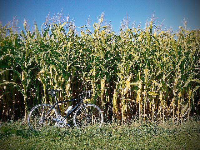 Corn is one of the most common genetically modified crops.