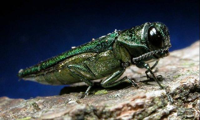 The emerald ash borer poses a major threat to ash trees at Onondaga Lake Park.