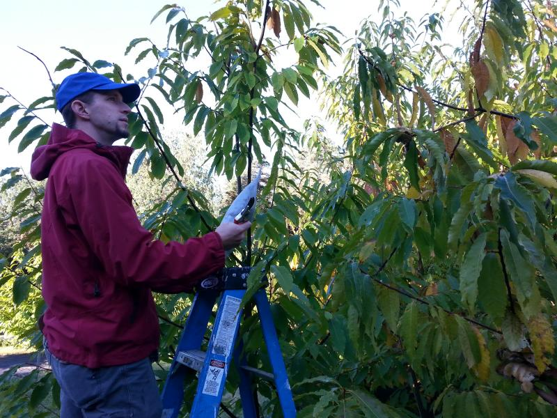 Andy Newhouse, a researcher for SUNY ESF, at work. He is one of the researchers helping rebuild the American chestnut population.