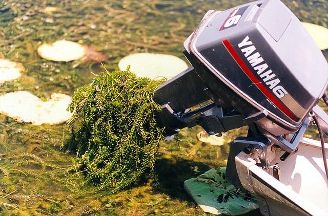 Hydrilla, an invasive aquatic plant, often gets stuck in boat motors