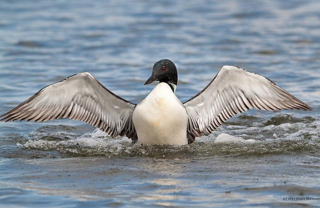 Property values may be connected to the presence of the Common Loon.