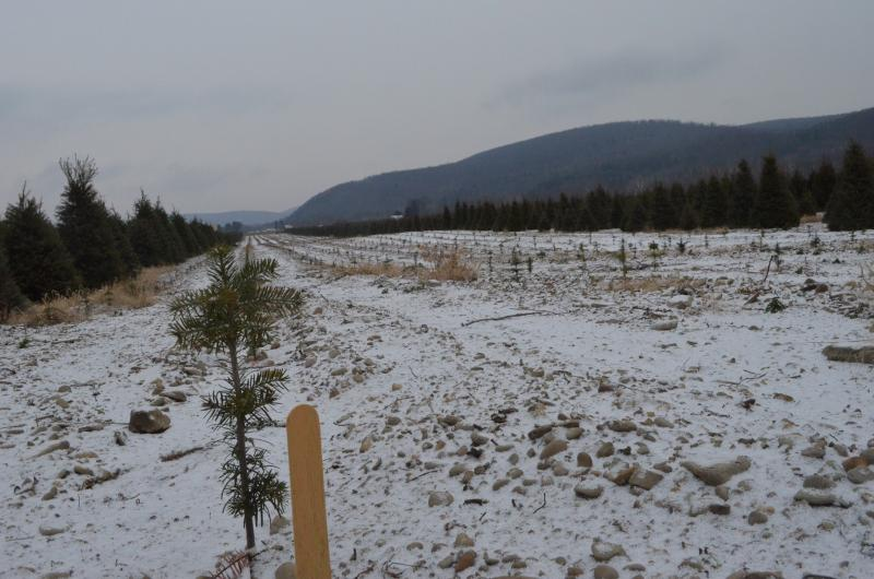Turkish fir trees grow at Empire Evergreens in Painted Post, N.Y.