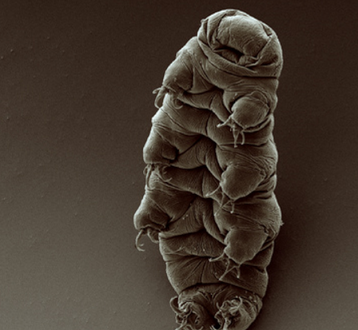 A water bear, or tardigrade