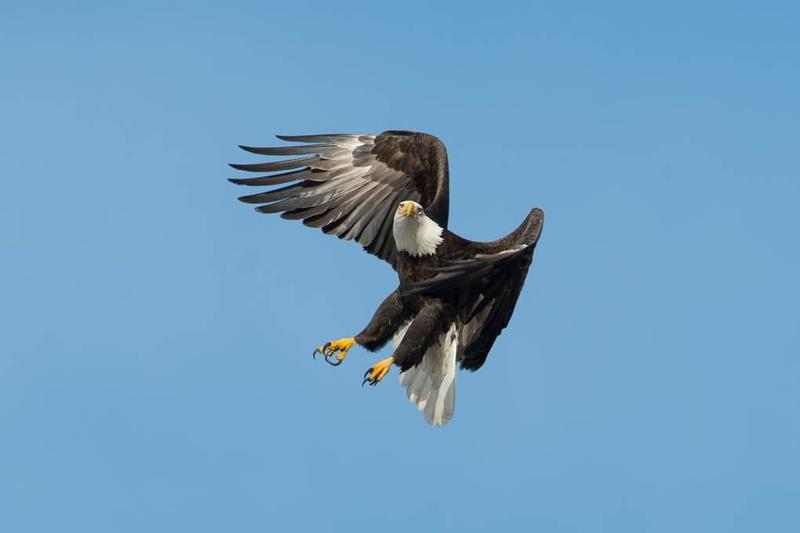 A picture of a bald eagle above Onondaga Lake from a 2014 display at the Honeywell's Onondaga Lake Visitors Center in Geddes.
