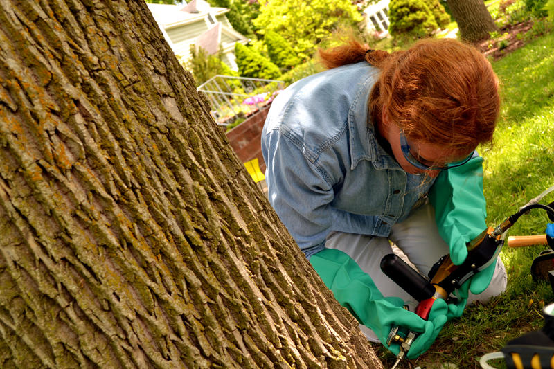 Arborist Lori Brockelbank injects insecticide into an ash tree. (file photo)