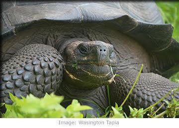 The newly discovered Eastern Santa Cruz Tortoise.