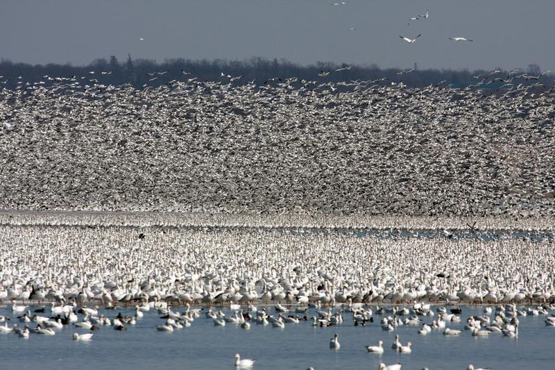 Snow geese migration.
