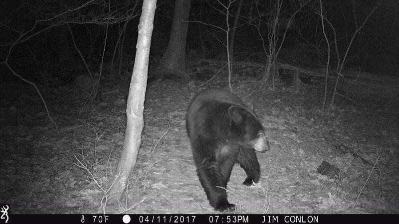 A black bear shown on trail camera video