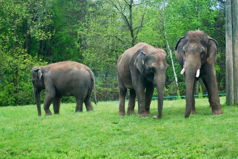 Some of the elephants at the Rosamond Gifford Zoo in Syracuse