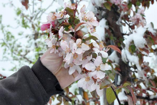 An early warm spell this year led to early buds. A severe cold snap followed shortly thereafter. On the heels of a freak snowstorm, upstate fruit growers are now waiting to find out how much damage has been done.