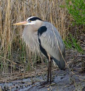 Great Blew Heron, Bombay Hook National Wildlife Refuge