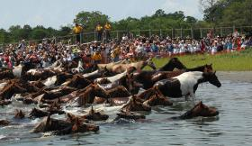 The 82nd Annual Chincoteague Pony Swim featured more than 200 wild ponies swimming across the Assateague Channel into Chincoteague, Virginia