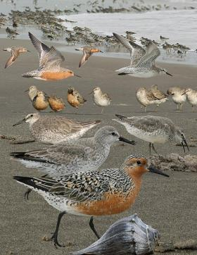 Red Knot, migratory bird that feeds along Delaware Shore