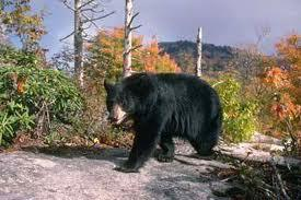Bear Hunt in Maryland
