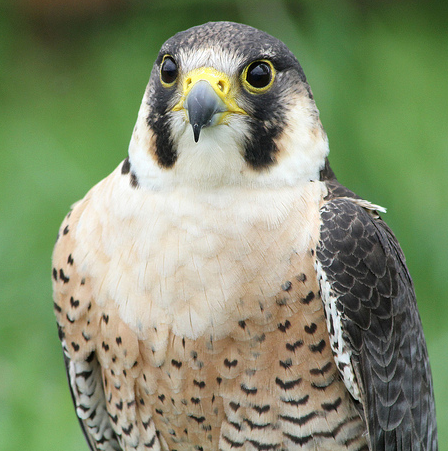 Maryland lowers cost of falconry delmarva public radio for Md fishing license cost