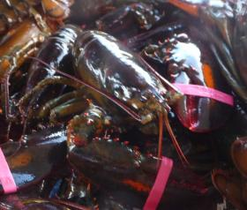 Lobsters from Long Island Sound