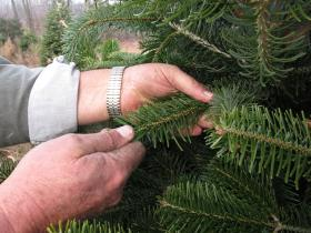In this file photo, a tree farmer strokes the needles of a Turkish fir