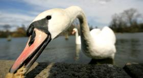 Native to Europe the mute swan has been labeled a pest on the East Coast targeted for eradication.