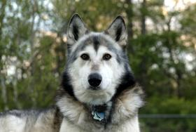In this photo released by Wolf Park,  is a wolf-dog hybrid in Indiana. The Connecticut DEEP is investigating an incident involving hybrid wolf-dogs in Ledyard, Conn.