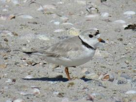 Piping plovers lay their eggs on the beach