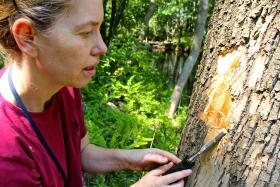 Entomologist Claire Rutledge finds an emerald ash borer's tracks on a tree in Sleeping Giant State Park in Hamden, Connecticut.