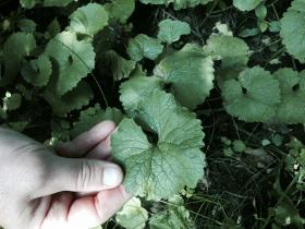 Garlic mustard can be used to make pesto