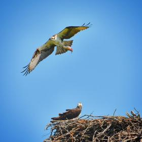 An Osprey brings fish back to its young on its nest in Fairfield, Connecticut. Ospreys generally mate for life.