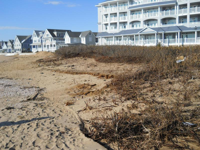 Dunes and plantings in front of the Madison Beach Hotel held during Hurricane Irene