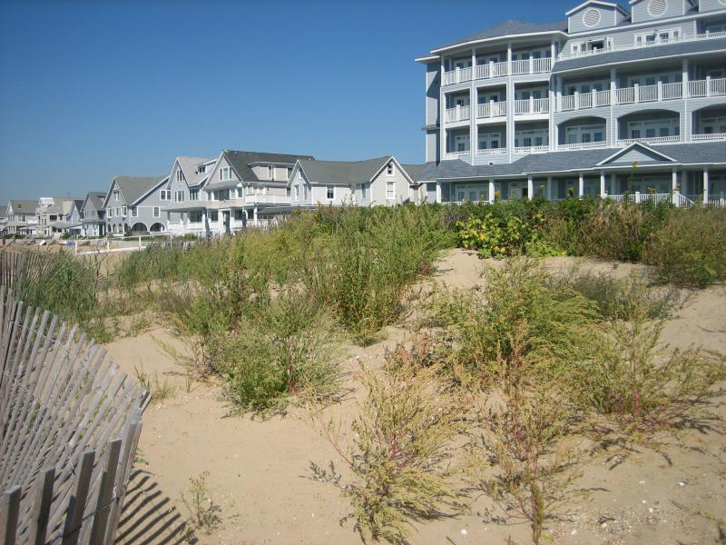 Plantings on the dunes by the Madison Beach Hotel, as they appear when healthy