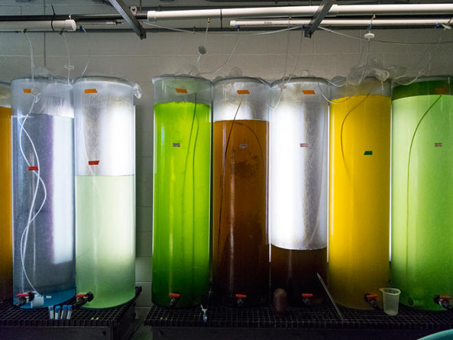 Tanks of different types of algal blooms at Stony Brook University's School of Marine and Atmospheric Sciences on Long Island, N.Y.