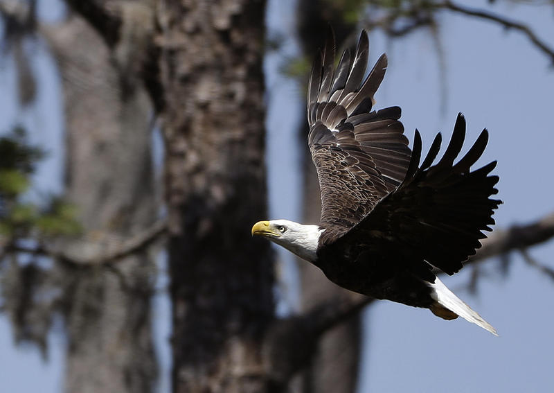 An American bald eagle as seen in May in Ponte Vedra Beach, Fla.