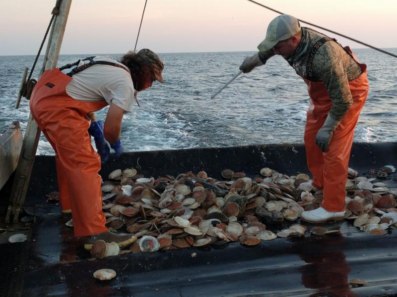 Crew members sort through scallops and discard bycatch on a fishing boat in the Atlantic, 14 miles from Long Island's Montauk Point.