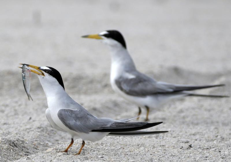 Two terns, one preparing to eat a fish, stand on the shore.