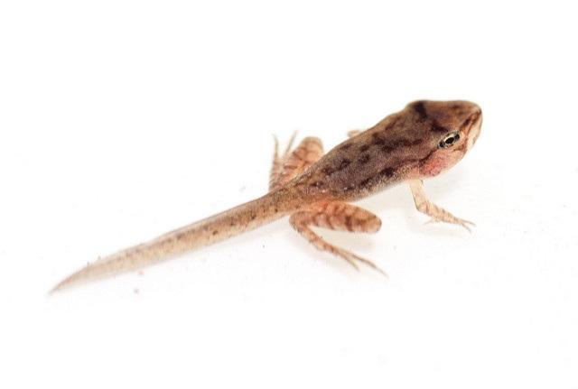 A wood frog tadpole