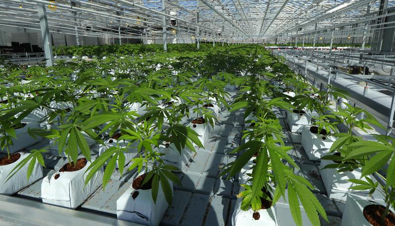 Marijuana plants growing in a tomato greenhouse.