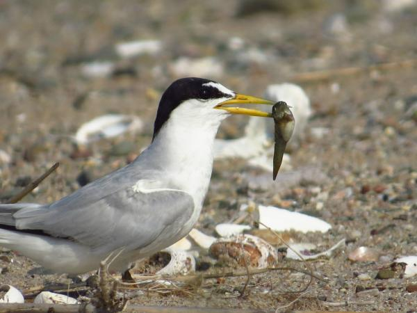Adult Least Tern with mummichog at Sandy Point in West Haven.