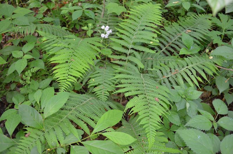 Silvery Spleenwort in Ozark Hills Nature Preserve