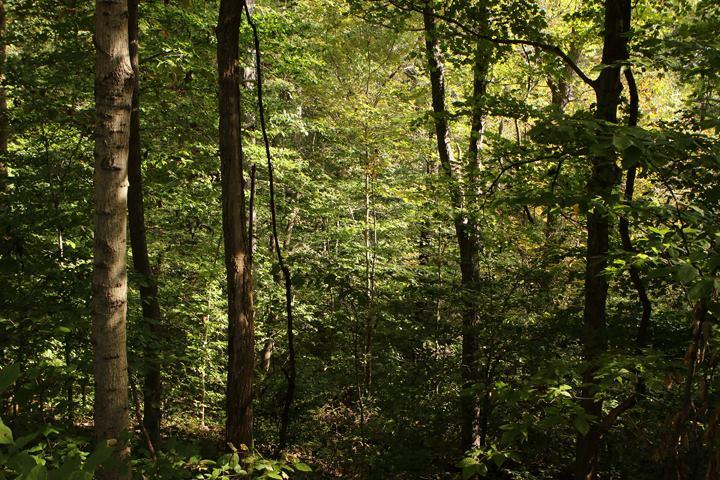 A portion of the Trail of Tears State Forest  showing an area with heavy understory, causing low light levels.