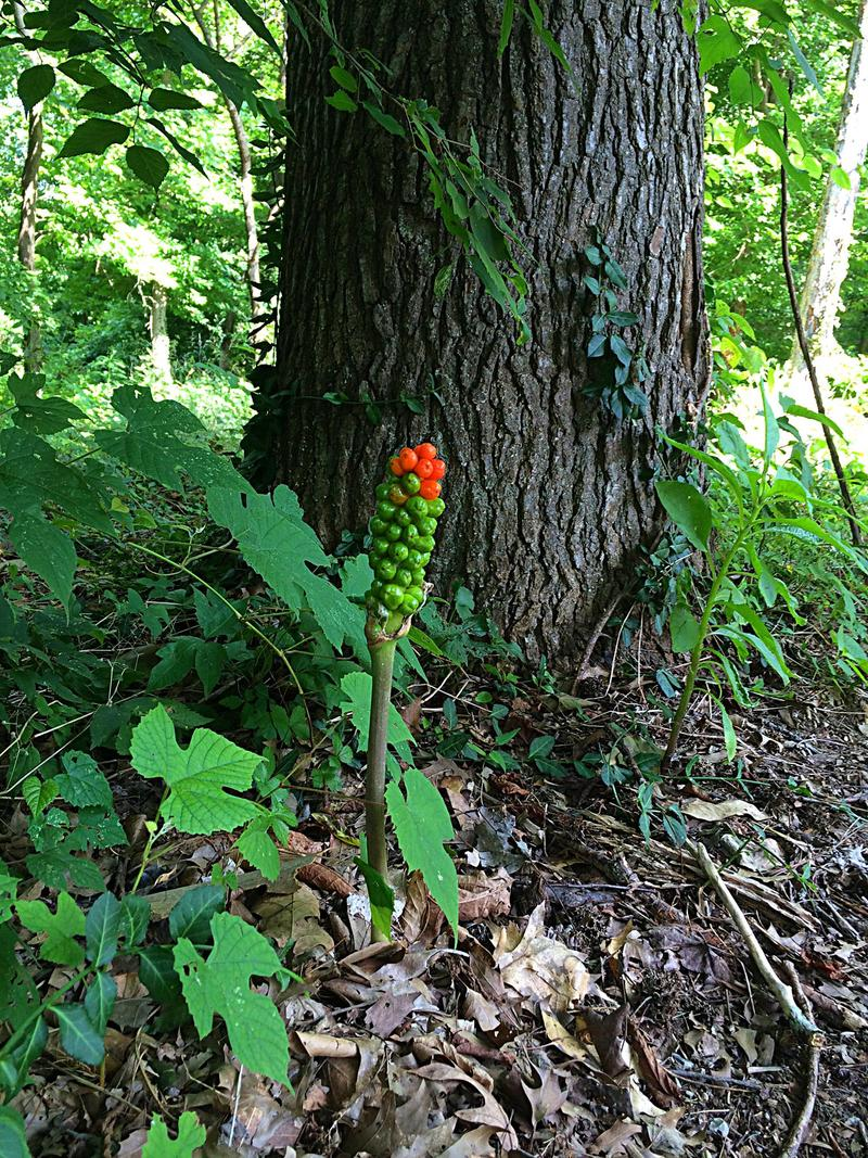 The Native Jack In The Pulpit Ripens in Woods On The SIU Carbondale Campus.