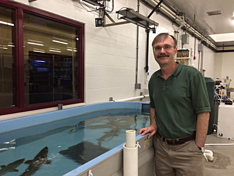 Dr. Greg Whitledge, Stands At A Tank Containing The Native Pallid Sturgeon At The wet lab facility on McLafferty Road on Friday May 19th, 2017.