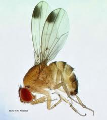 The Spotted Wing Drosophila Is Now In Illinois And Harms A Variety Of Fruits.