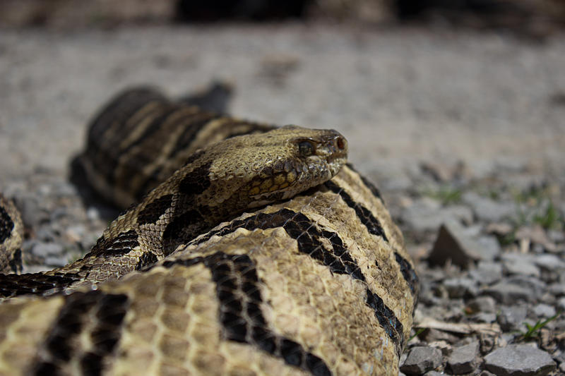 Timber Rattlesnake Photographed In Jackson County Illinois. 2015