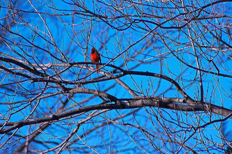 A cardinal on a bare branch