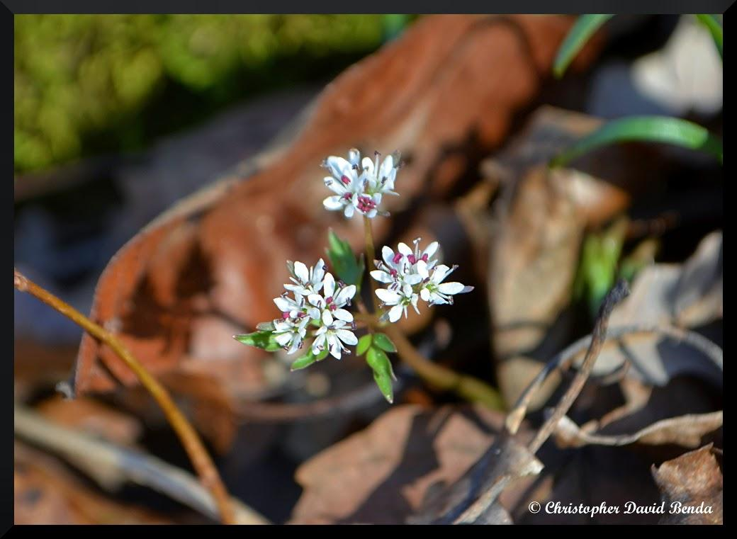 Mild February Resulting In Early Flowers Wsiu