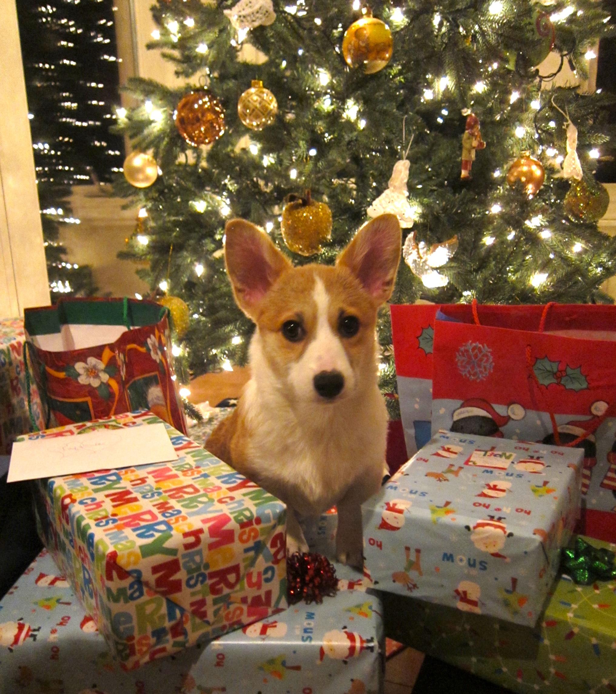 pets as christmas gifts alabama public radio - Corgi Christmas
