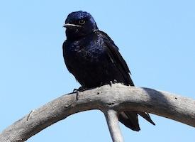 Purple Martins are migratory birds that only hatch three or so clutches of young a year. Franklin says the April 2011 tornadoes could have cost this species an entire year of breeding.