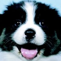 closeup picture of black and white puppy