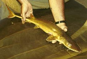 The U.S. Fish and Wildlife Service has a plan to build up the population of the Alabama Sturgeon, one of the rarest fish in America.