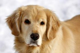 Golden Retriever - who could resist such a sweet face!